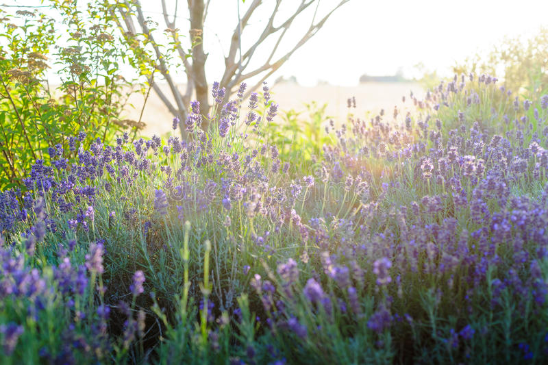 Beautiful detail of scented lavender flowers field stock photo