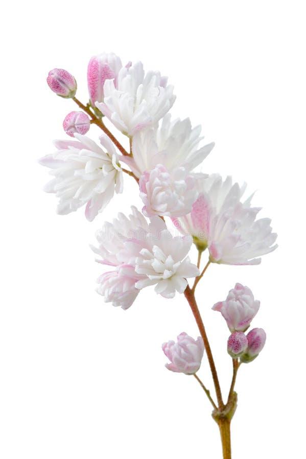 Beautiful Deutzia Scabra Flowers on White Background royalty free stock image