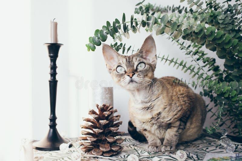 Beautiful devon rex cat in Christmas interior stock images
