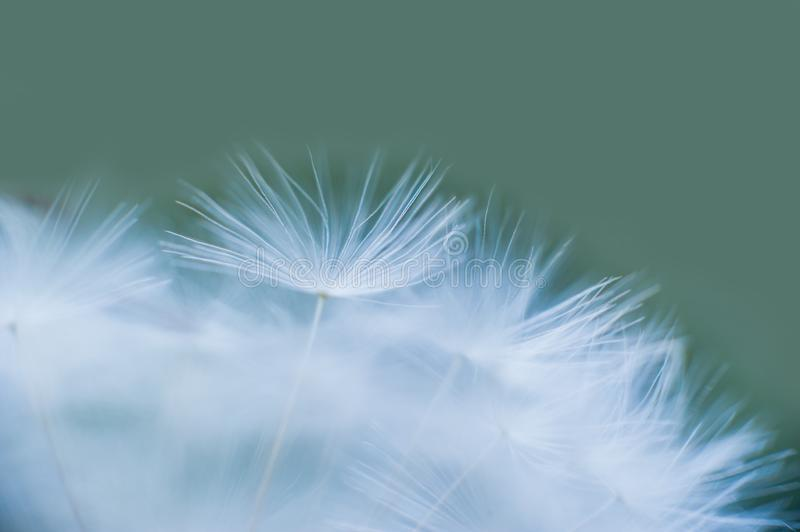 Beautiful dew drops on a dandelion seed macro. Water drops on a parachutes dandelion. Copy space. soft focus on water droplets. stock photography