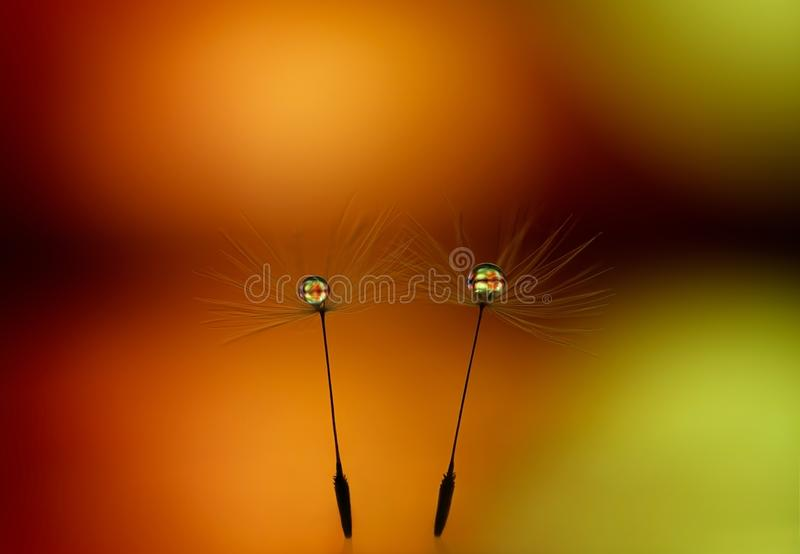 Beautiful dew drops on dandelion seeds closeup. Abstract yellow orange background. Romantic abstract image of a couple at sunset. royalty free stock images