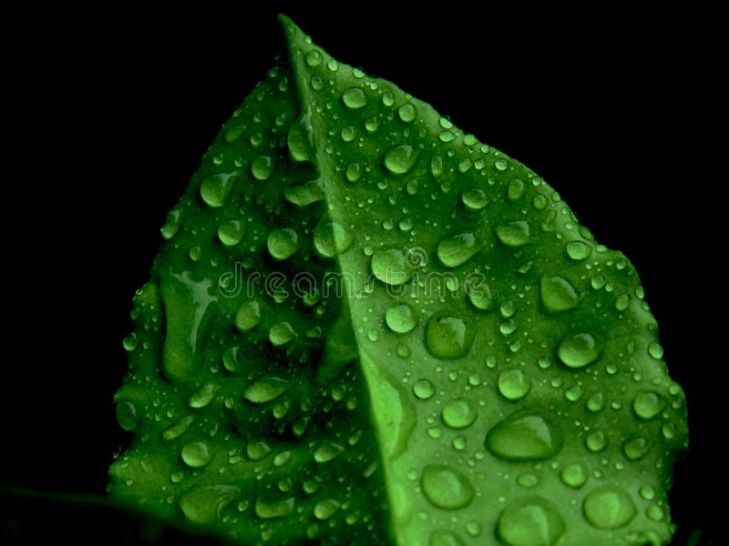 Beautiful dew on the green leafs after rain effect natural stock photography