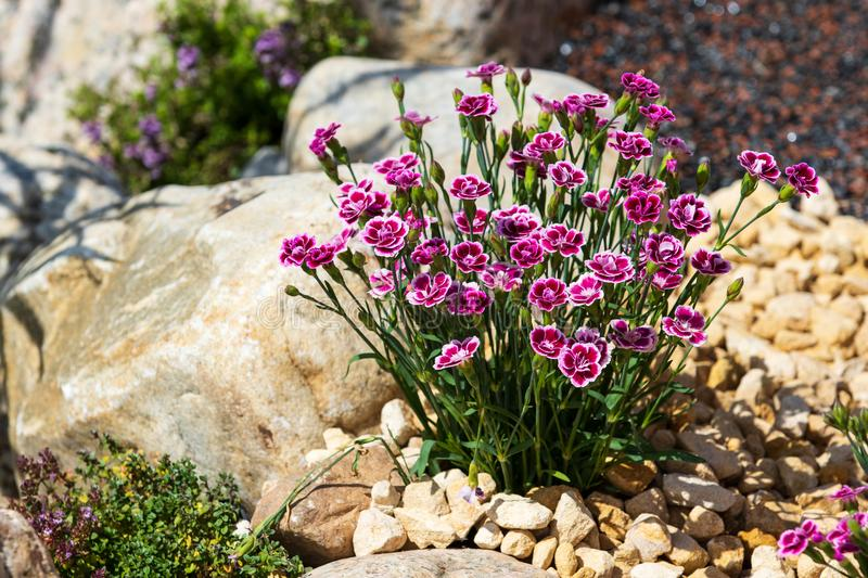 Dianthus. A beautiful Dianthus in full bloom royalty free stock photo