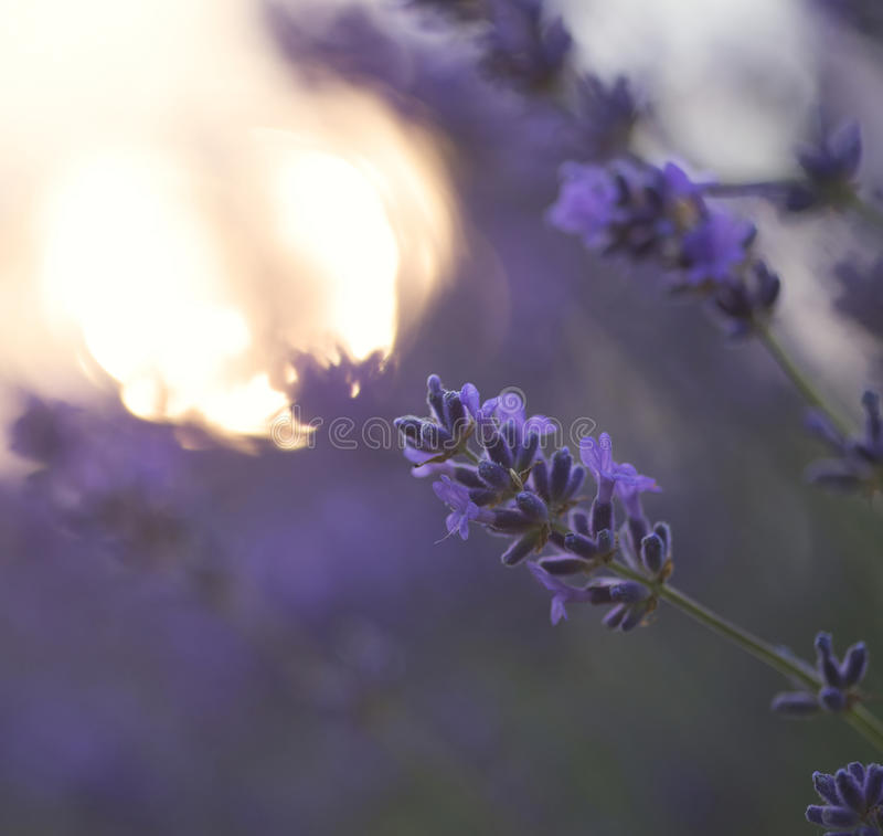 Beautiful differential focus technique giving shallow depth of f. Ield blurred bokeh sun effect in lavender landscape royalty free stock photo
