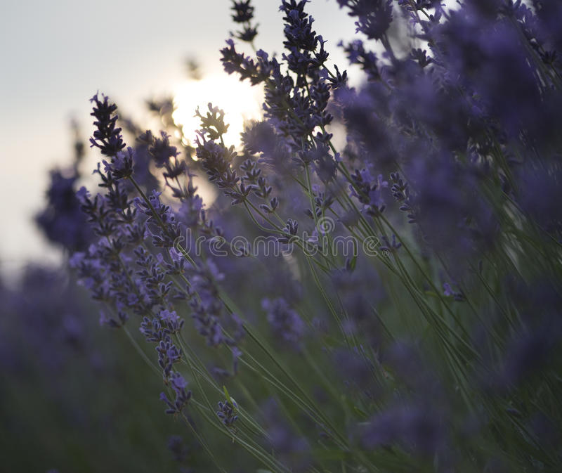 Beautiful differential focus technique giving shallow depth of f. Ield blurred bokeh sun effect in lavender landscape stock photo