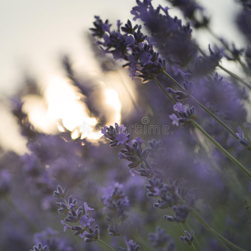 Beautiful differential focus technique giving shallow depth of f. Ield blurred bokeh sun effect in lavender landscape royalty free stock image