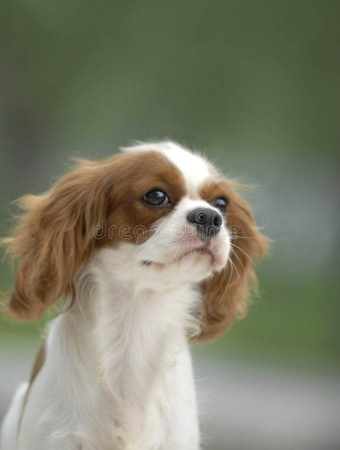 Download Beautiful dog stock photo. Image of charles, adorable - 4893584