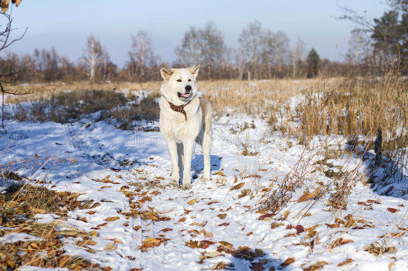 Beautiful dog Akita Inu in the field among fallen autumn leaves and snow. stock photo