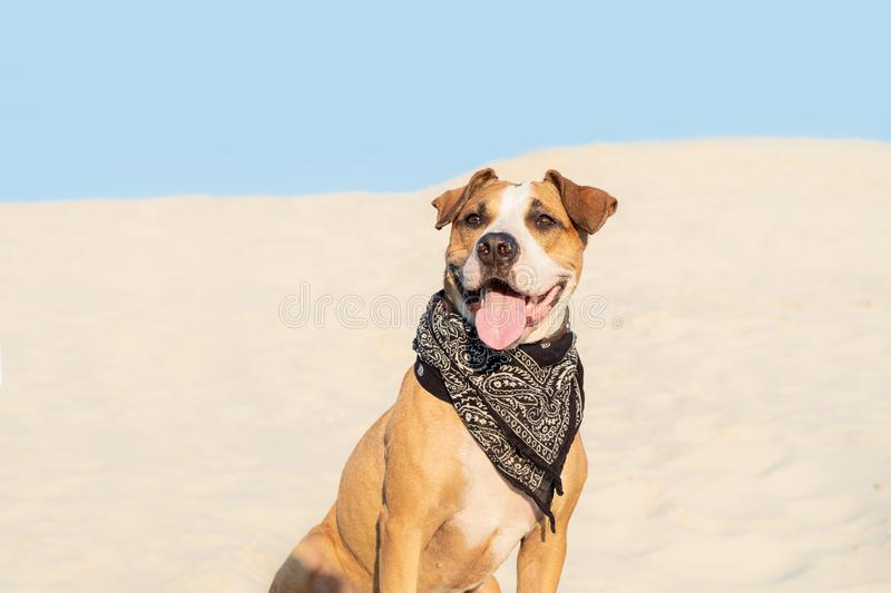 Beautiful dog in bandana sits in sand outdoors. Cute staffordshire terrier puppy in sandy beach or desert on hot summer day stock photo