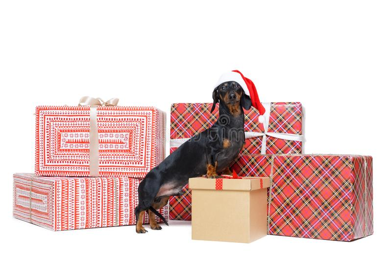 Beautiful dog breed dachshund, black and tan, in a red Santa Claus cap, stands on to a stack christmas gift boxes, isolated on whi. Te background stock photo