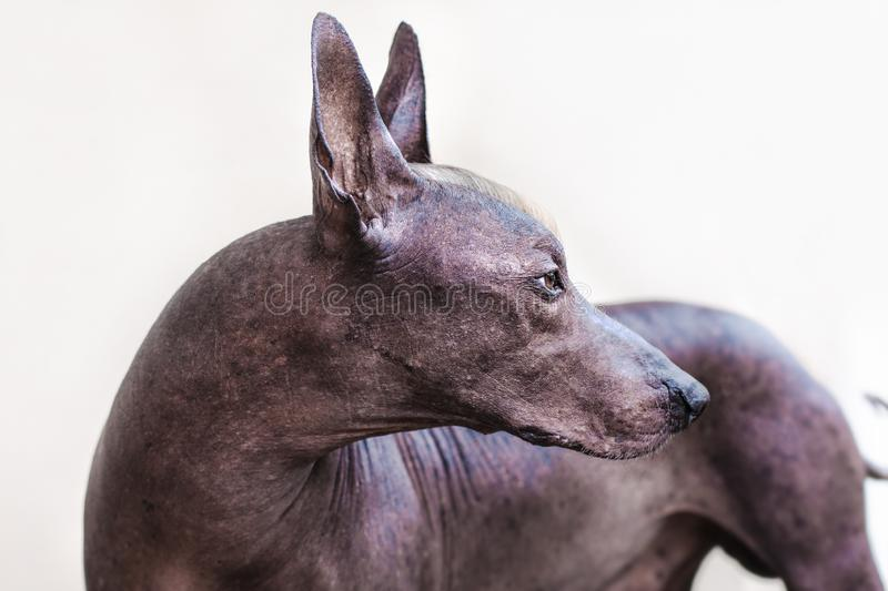 The beautiful dog breed Xoloitzcuintle Mexican Hairless dog. The head of old dog Xolotizcuintle breed Mexican Hairless Dog, of standard size, with red and white royalty free stock image