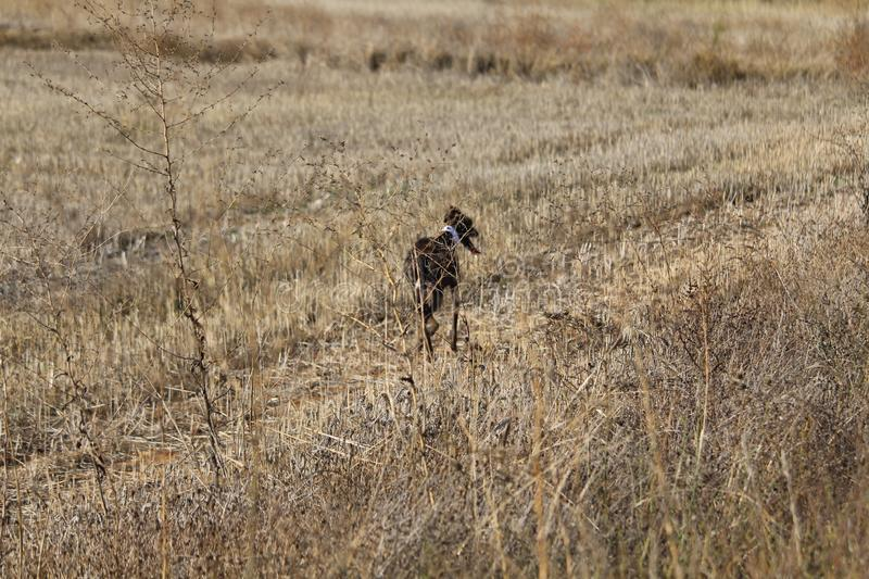 Beautiful Dog debugging Spanish race that used to hunt hares. Galgo stock photography
