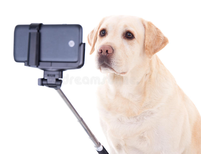 Beautiful dog (golden retriever) taking selfie photo isolated on royalty free stock photography