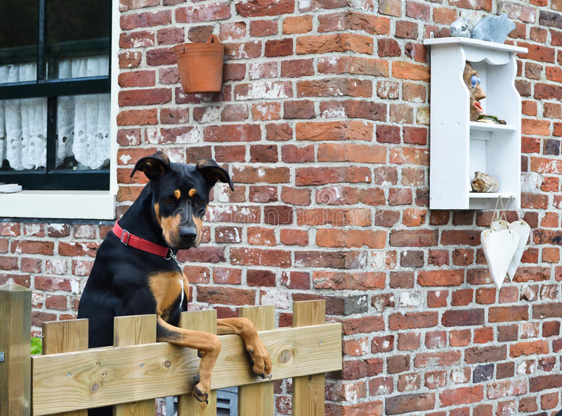 Beautiful dog looking over the garden fence stock photography