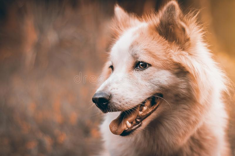 Beautiful dog in nature background. Portrait of siberian husky stock photo