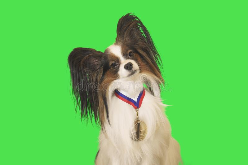 Beautiful dog Papillon with medal for first place on the neck on green background stock photo