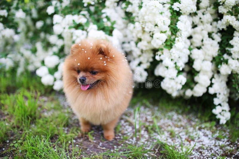 Beautiful dog. Pomeranian dog near blossoming white bush. Pomeranian dog in a park. Adorable dog. Happy dog royalty free stock images