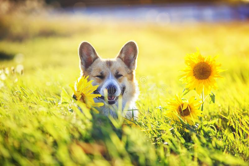 Beautiful dog puppy Corgi sitting on a field with yellow flowers of sunflower in the warm clear summer day, and. Portrait of a beautiful dog puppy Corgi sitting stock images