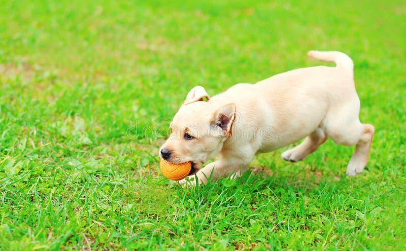 Beautiful dog puppy Labrador Retriever running playing with ball. Beautiful dog puppy Labrador Retriever running playing with rubber ball on grass royalty free stock photos
