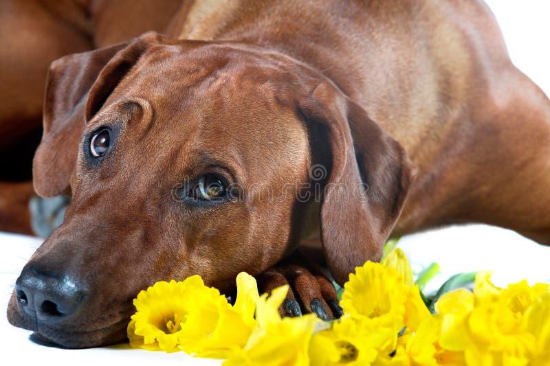 Beautiful dog rhodesian ridgeback laying in yellow flowers isolated on white stock photo