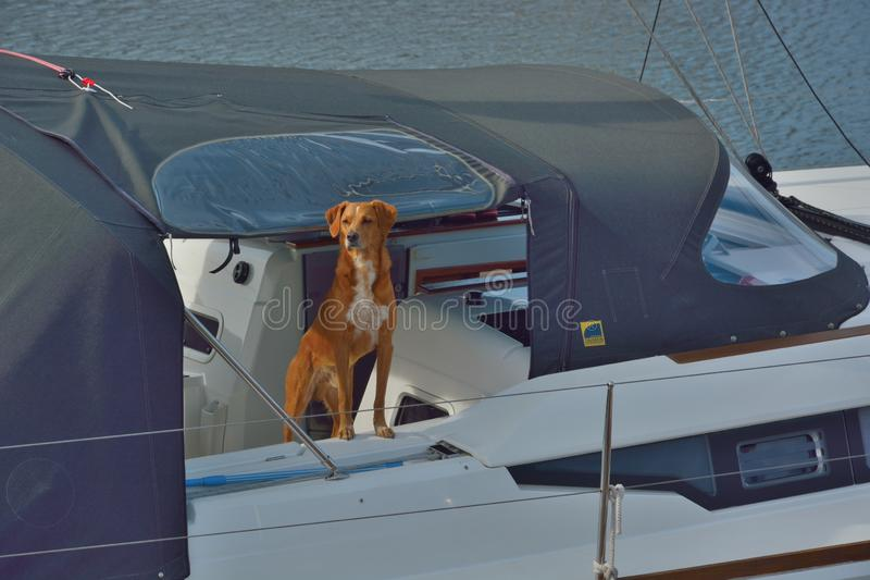 Beautiful dog watching out on his masters boat. Beautiful red and dog watching out on his masters boat , luxurious detail of a yacht stock image