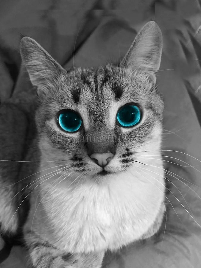 Domestic cat. Beautiful, domestic cat with blue eyes,parodic masquerade ball royalty free stock photos