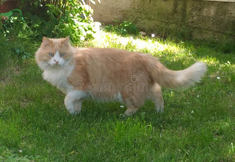 Beautiful domestic european long-haired cat. Male european cat. stock photo