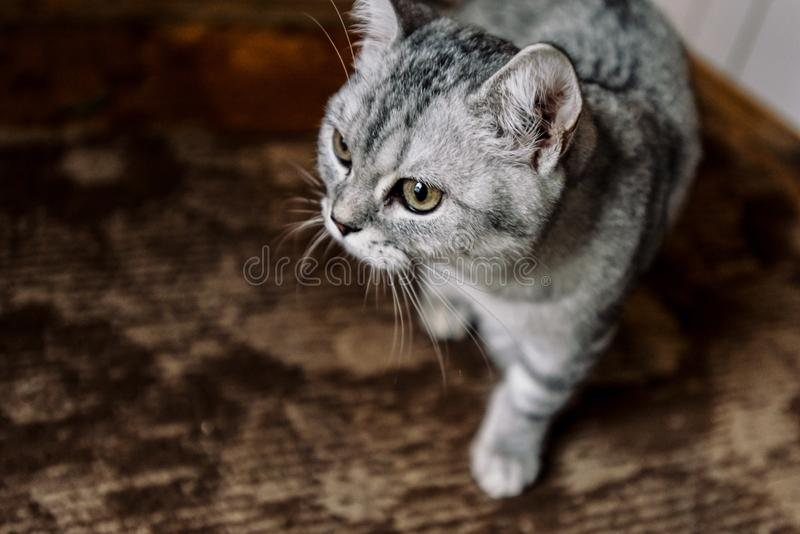 Beautiful domestic grey sweet cat sitting at home and looking. Beautiful domestic grey sweet cat sitting at home stock photography