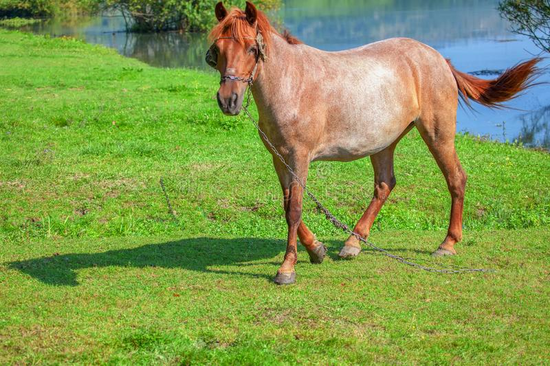Beautiful domestic mare. One domestic horse on the green meadow stock image