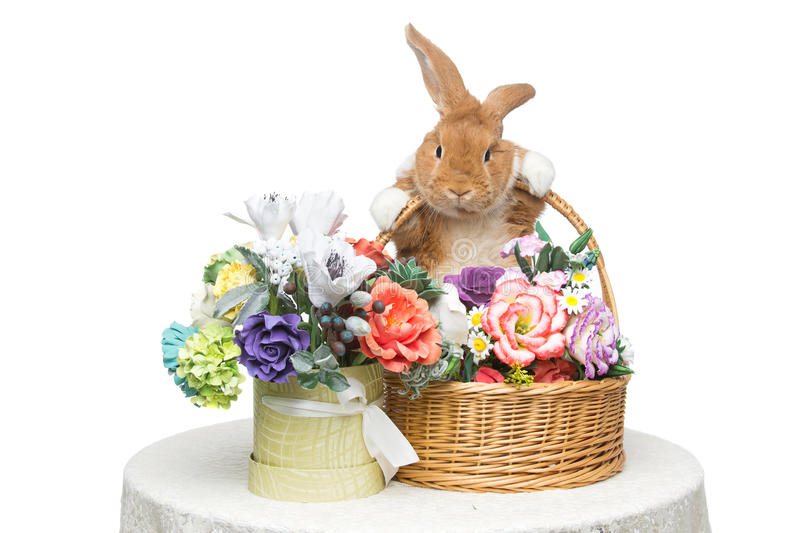 Beautiful domestic rabbit. Adorable red domestic lop-eared rabbit holding basket with flowers isolated over white background. Copy space royalty free stock photo