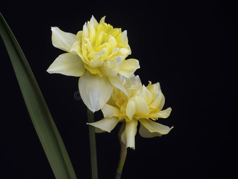 Beautiful double flowered daffodil, narcissus blooms on black background with copyspace. stock photography