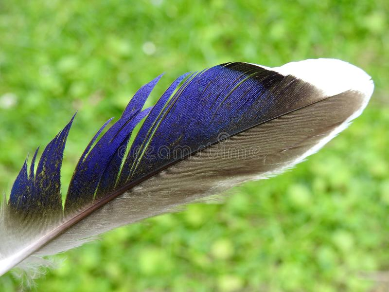 Beautiful dove birds feather, Lithuania royalty free stock images