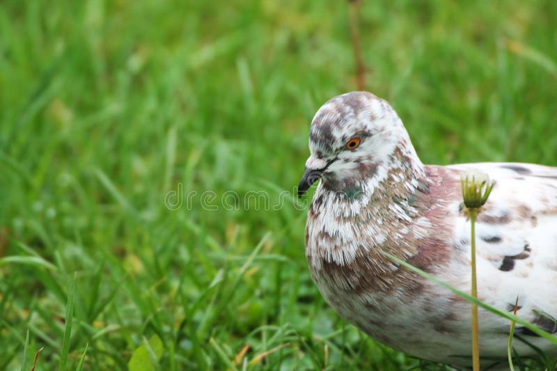 A beautiful dove resting in green grass and waiting for friends stock photography