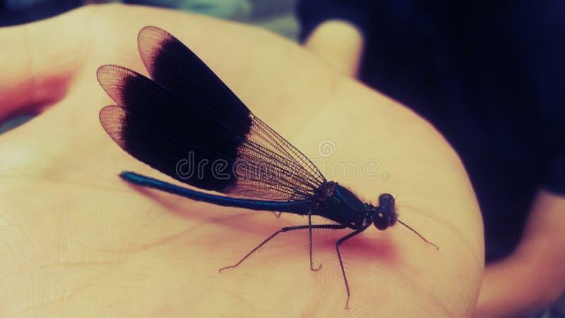 Beautiful dragon fly royalty free stock photo