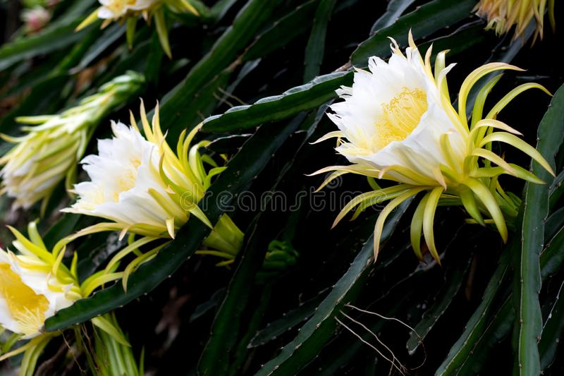Beautiful dragon fruit flower on climber planting floral nature background. Beautiful dragon fruit flower on climber planting  floral  nature  background royalty free stock photos