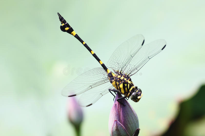 Beautiful Dragonfly. The daytime shot standing lotus above the beautiful Dragonfly stock image