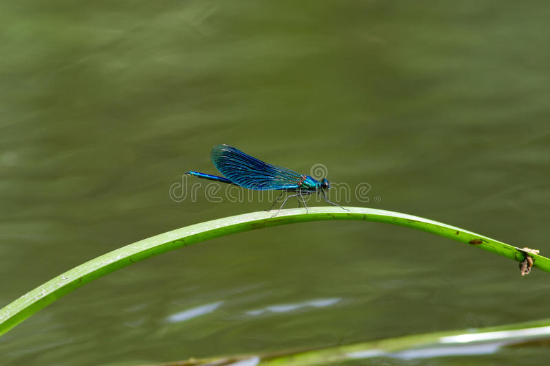 Beautiful dragonfly. Resting on a leaf royalty free stock images