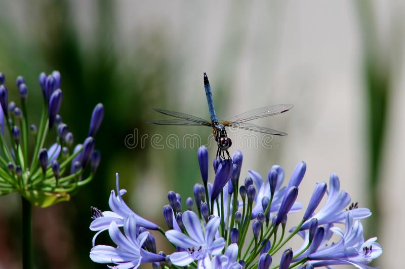 Beautiful Dragonfly and Agapanthus royalty free stock photo