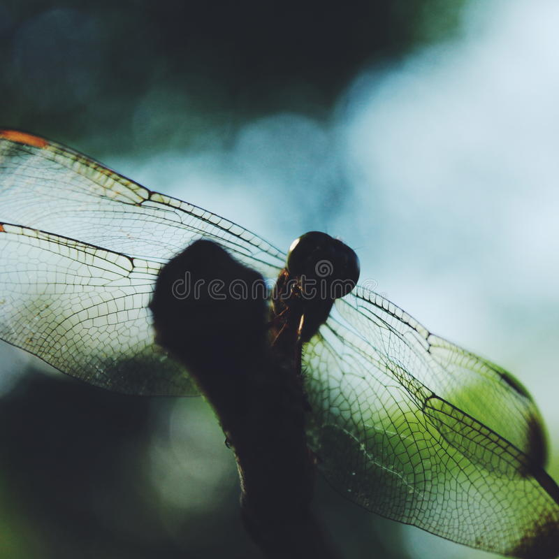 Beautiful Dragonfly royalty free stock image