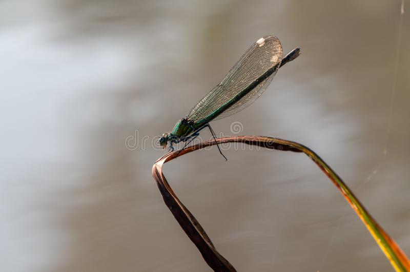 Beautiful dragonfly Calopteryx splendens on a blade of grass near the river. Waiting for prey morning dew summer stock image