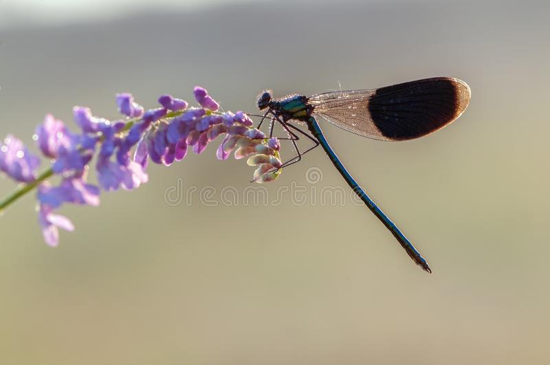 Beautiful dragonfly Calopteryx splendens on the flower of morning dew. In the summer preparing to meet a new day royalty free stock photography