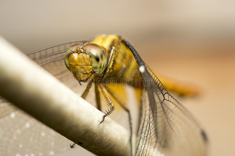 Beautiful Dragonfly royalty free stock photos