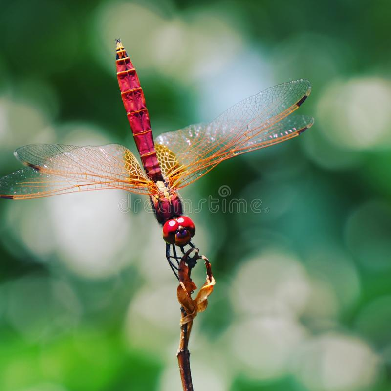 Beautiful dragon fly royalty free stock image