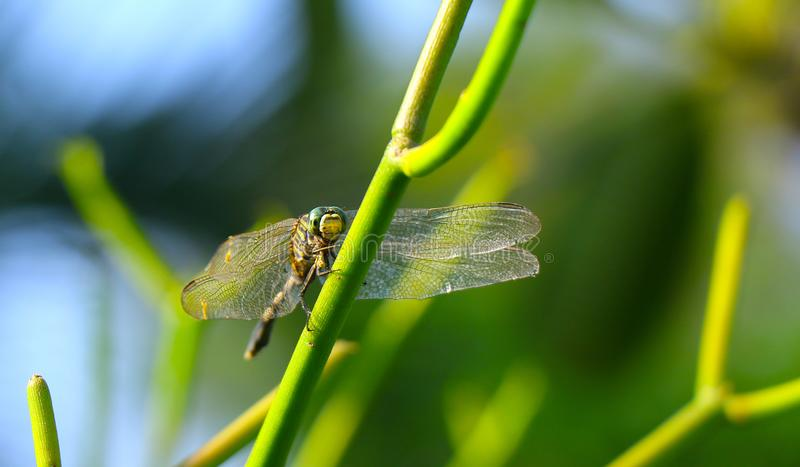 Beautiful dragonfly on the green tree royalty free stock photos