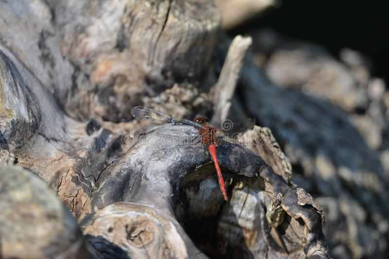 Dragonfly/libelle. Beautiful dragonfly in the Netherlands, kissing a branch of a tree royalty free stock photo