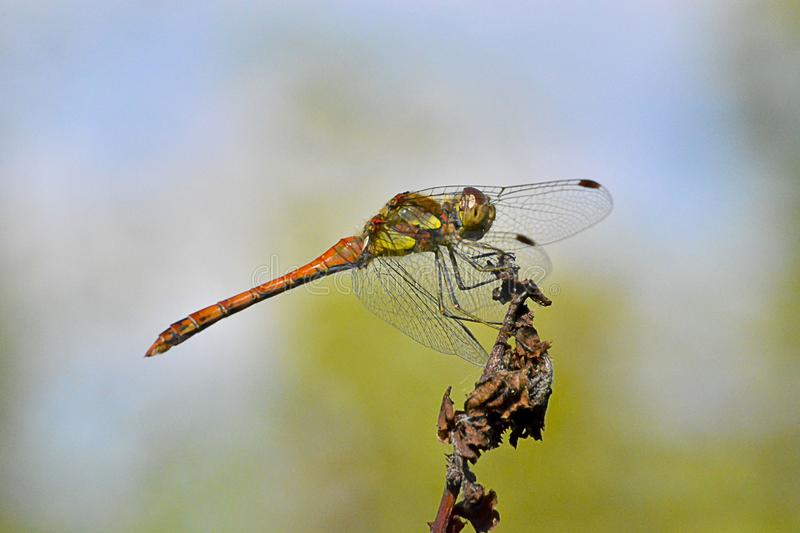 A beautiful dragonfly over a plant royalty free stock photo