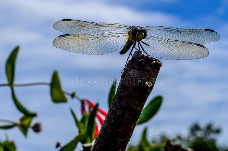 Dragonfly Sitting on Branch With Wings Spread stock images