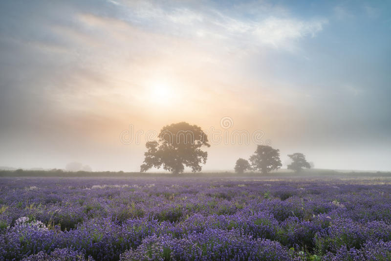 Beautiful dramatic misty sunrise landscape over lavender field i royalty free stock photos