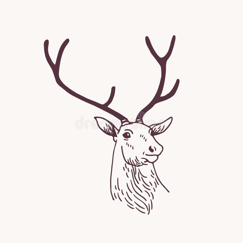 Beautiful drawing or sketch of head of male deer, reindeer or stag with elegant antlers. Forest animal drawn with vector illustration