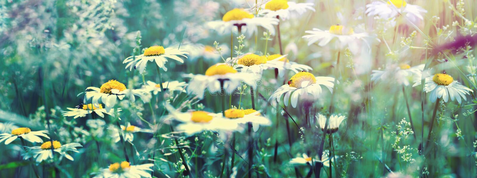 Beautiful dreamy daisy flowers, grass, ladybug close-up on wild field in sunset light panorama. Soft focus nature background. Copy stock images